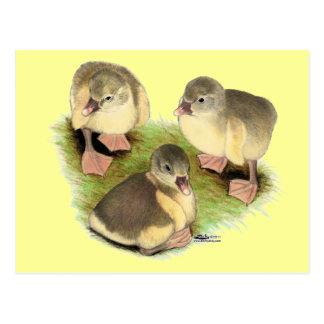 Ansarones de color de ante de Pomeranian Tarjetas Postales