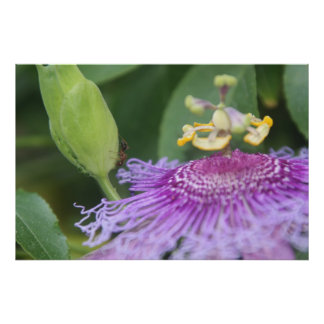 Ant+Passion Flower Nature Poster
