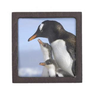 Antarctic Peninsula, Neko Harbour, Gentoo Jewelry Box