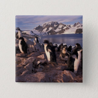Antarctica, Adelie penguin chicks Pinback Button