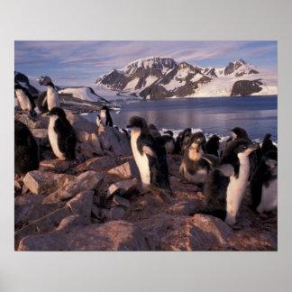 Antarctica, Adelie penguin chicks Poster