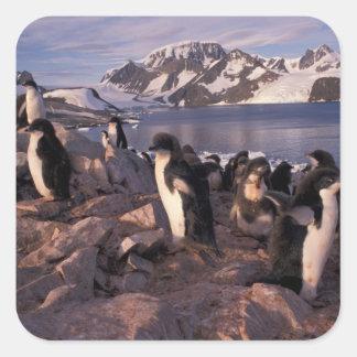 Antarctica, Adelie penguin chicks Square Sticker