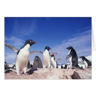 Antarctica, Adelie Penguin Pygoscelis Card