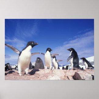 Antarctica, Adelie Penguin Pygoscelis Poster