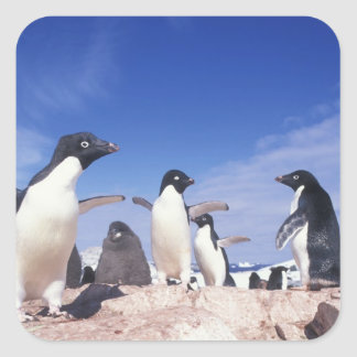 Antarctica, Adelie Penguin Pygoscelis Square Sticker