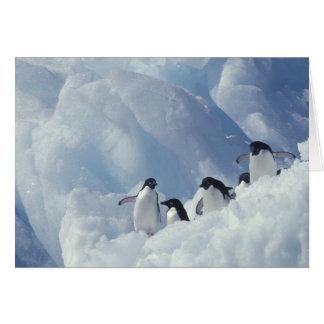 Antarctica. Adelie penguins Card