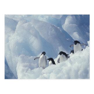 Antarctica. Adelie penguins Postcard