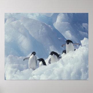 Antarctica. Adelie penguins Poster