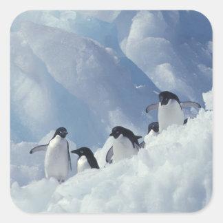 Antarctica. Adelie penguins Square Sticker