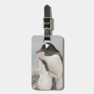 Antarctica, Aitcho Island. Gentoo penguin chick Luggage Tag