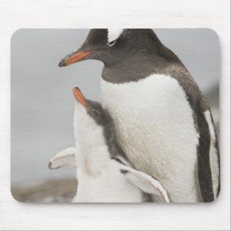 Antarctica, Aitcho Island. Gentoo penguin chick Mouse Pad