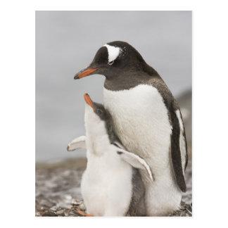 Antarctica, Aitcho Island. Gentoo penguin chick Postcard