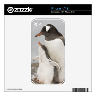Antarctica, Aitcho Island. Gentoo penguin chick Skins For The iPhone 4