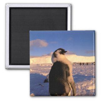 Antarctica, Australian Antarctic Territory, 2 2 Inch Square Magnet