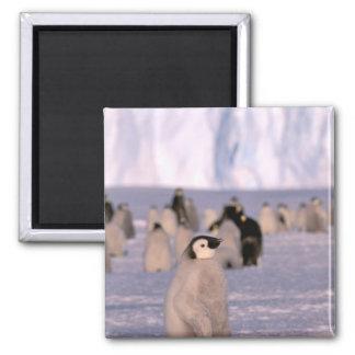 Antarctica, Australian Antarctic Territory, 3 2 Inch Square Magnet