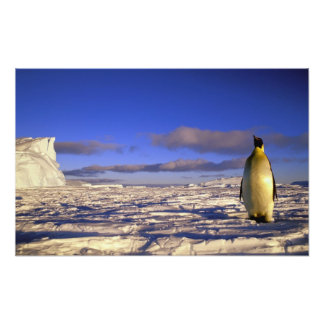 Antarctica, Cape Darnley. Emperor Penguin Photograph