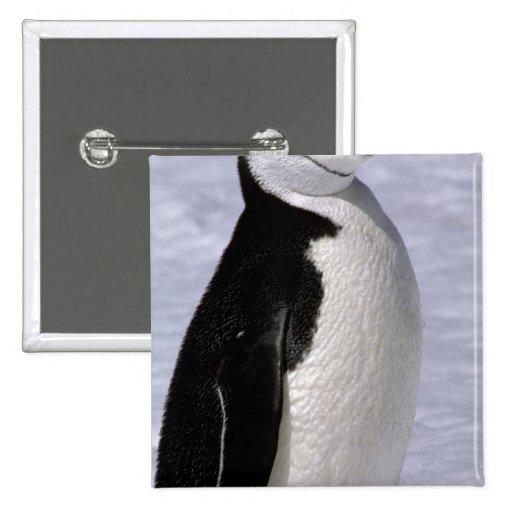 Antarctica. Chinstrap penguin 2 2 Inch Square Button