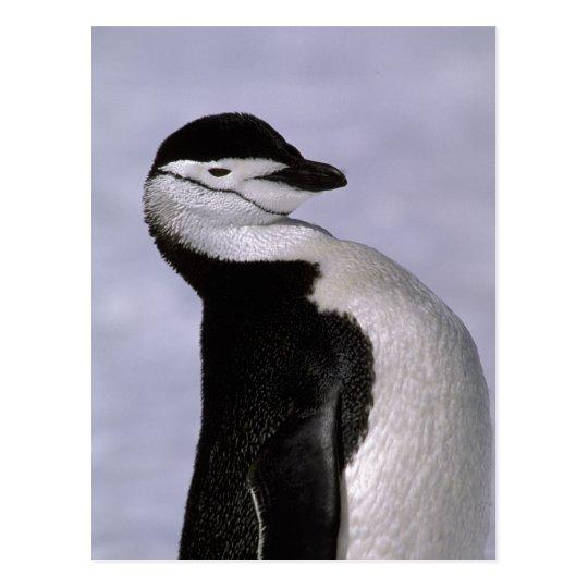 Antarctica. Chinstrap penguin Postcard