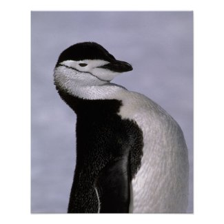 Antarctica. Chinstrap penguin Poster