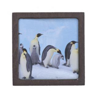 Antarctica, Emporer Penguin ((Aptenodytes Gift Box