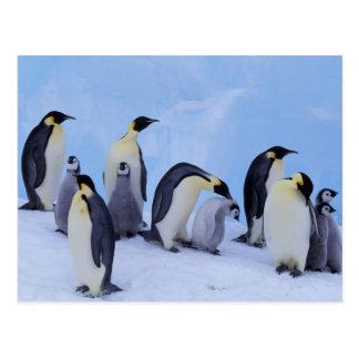 Antarctica, Emporer Penguin ((Aptenodytes Postcard