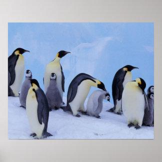 Antarctica, Emporer Penguin ((Aptenodytes Poster