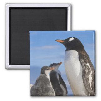 Antarctica, Neko Cove (Harbour). Gentoo penguin 2 Magnet