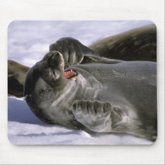 Antarctica, Nelson Island. Southern Furl seal Mouse Pad