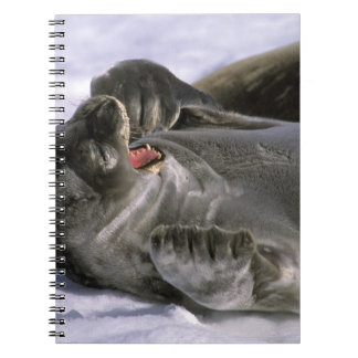 Antarctica, Nelson Island. Southern Furl seal Note Book