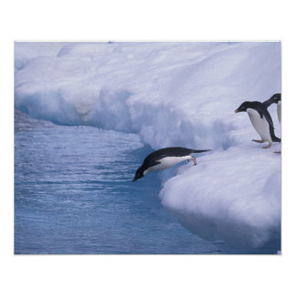 Antarctica, Paulet Island. Adelie penguins dive Poster