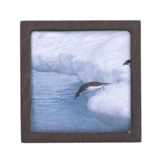 Antarctica, Paulet Island. Adelie penguins dive Premium Keepsake Boxes
