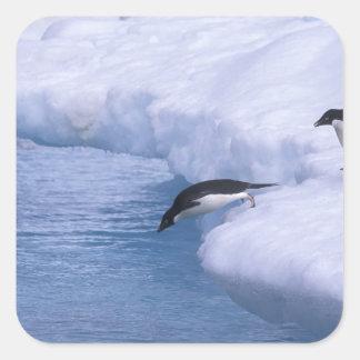 Antarctica, Paulet Island. Adelie penguins dive Square Sticker