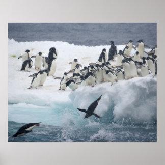 Antarctica, Paulet Island. Adelie penguins Poster