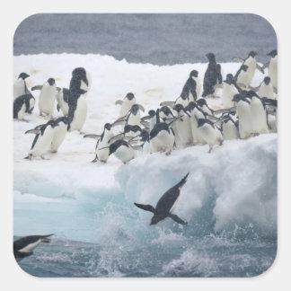 Antarctica, Paulet Island. Adelie penguins Square Sticker