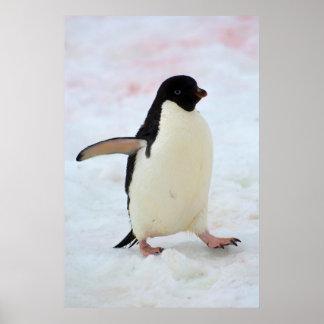 Antarctica. Petermann Island. Adelie penguin Poster