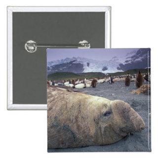 Antarctica, South Georgia Island, Elephant seal Button