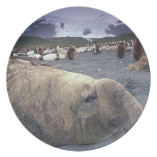 Antarctica, South Georgia Island, Elephant seal Melamine Plate