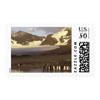 Antarctica, South Georgia Island. King penguins Postage