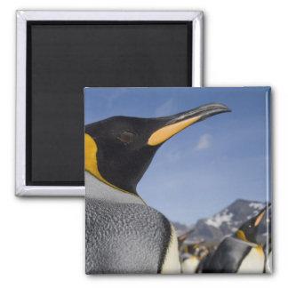 Antarctica, South Georgia Island UK), King 2 Magnet