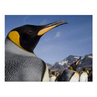 Antarctica, South Georgia Island UK), King 2 Postcard