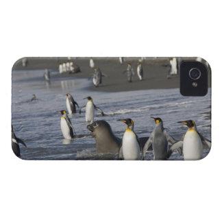 Antarctica, South Georgia Island (UK), King 4 iPhone 4 Cases