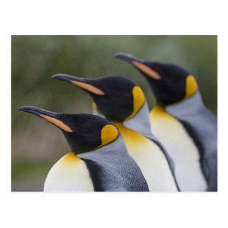 Antarctica, South Georgia Island UK), King 5 Postcard