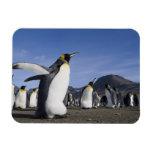 Antarctica, South Georgia Island (UK), King 5 Rectangle Magnet