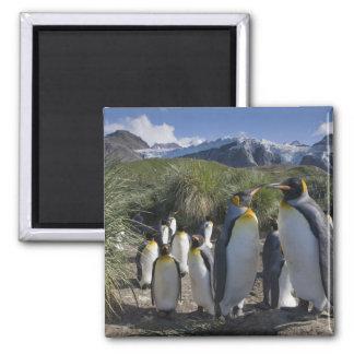 Antarctica, South Georgia Island UK), King 6 Magnet