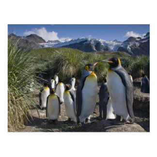 Antarctica, South Georgia Island UK), King 6 Postcard
