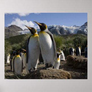 Antarctica, South Georgia Island (UK), King 7 Poster