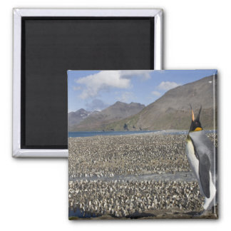 Antarctica, South Georgia Island (UK), King 8 2 Inch Square Magnet