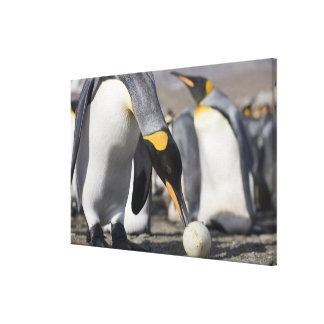 Antarctica, South Georgia Island (UK), King 9 Canvas Print