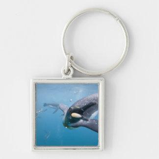 Antarctica, South Georgia Island UK), Silver-Colored Square Keychain
