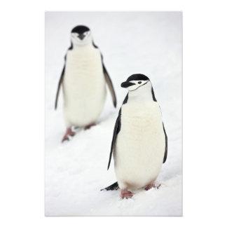 Antarcticus del Pygoscelis de los pingüinos de Chi Fotografía